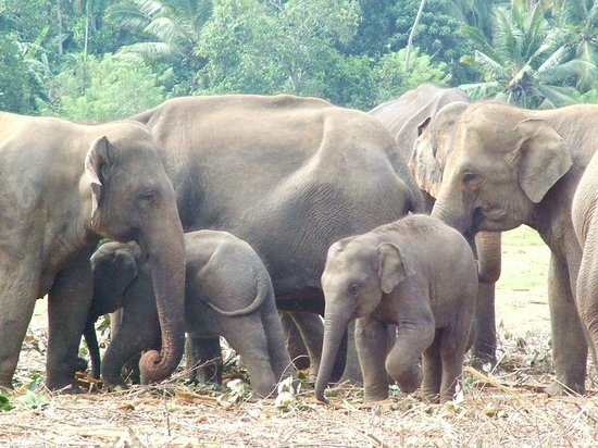 Pinnawala Elephant Orphanage: herd in paddock