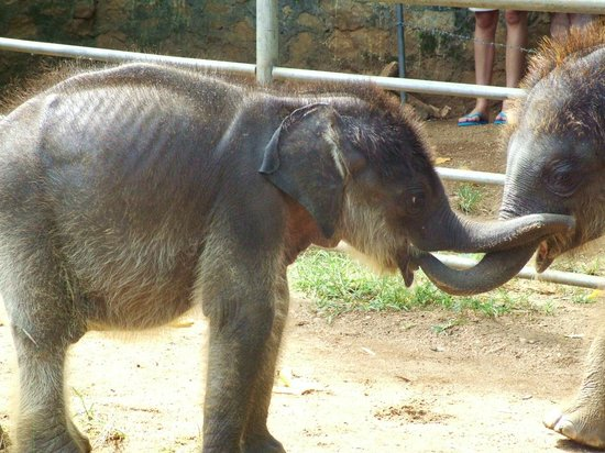 Pinnawala Elephant Orphanage: new baby
