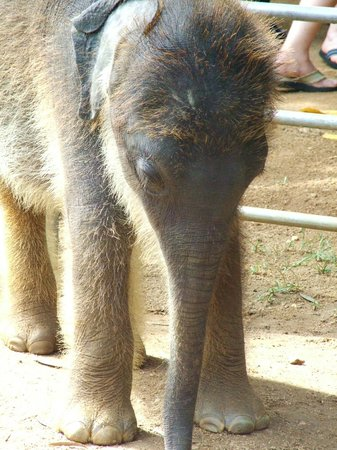 Pinnawala Elephant Orphanage: very young, recently rescued baby