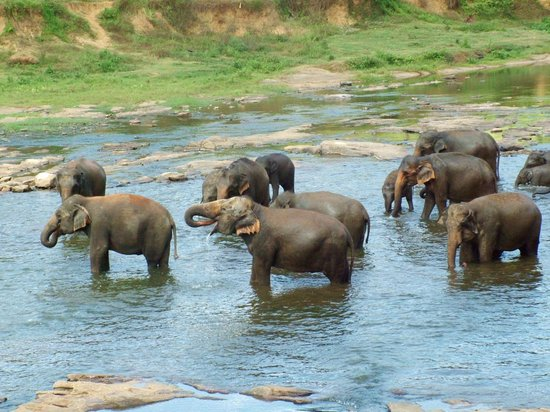 ‪‪Pinnawala Elephant Orphanage‬: the herd enjoying their bath‬