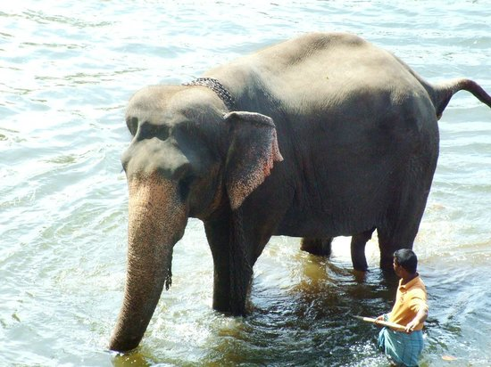 Pinnawala Elephant Orphanage: bathing elephant