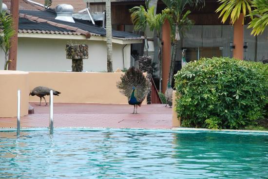 The Aiyapura Koh Chang: Peacock at the pool