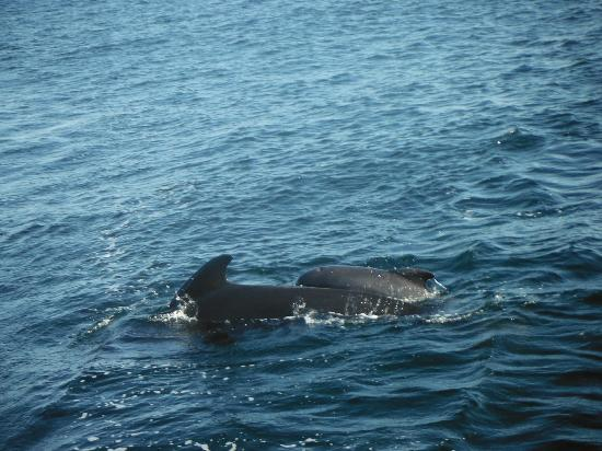 Oshan Whale Watch: Pilot whale cow and calf surfacing again.