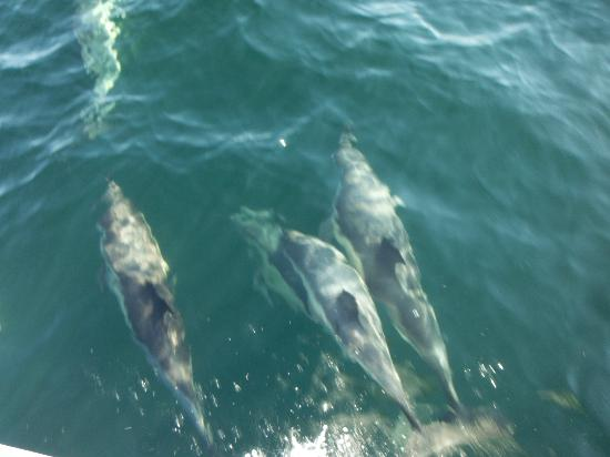 Oshan Whale Watch: White sided dolphins