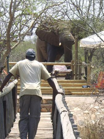Mfubu Lodge and Gallery : Elephant visits one of the swimming pools at Mfubu Lodge