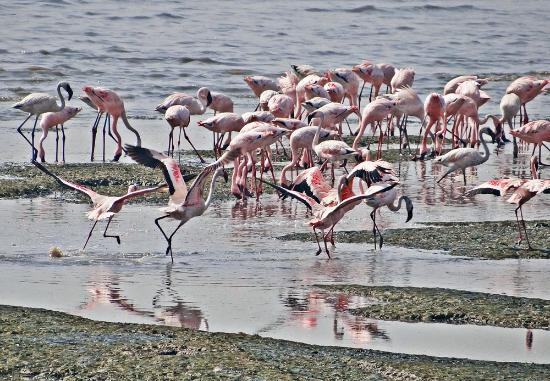 Sewri Jetty: Flamingoes at Sewri