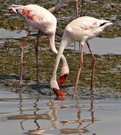 Sewri Jetty: Flamingoes at Sewri Bay - Mumbai