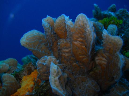 The Scuba Tribe: Lettuce Coral