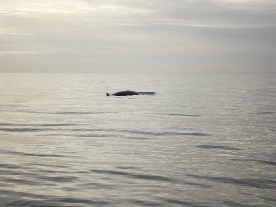 Maya's Legacy Whale Watching: Minke Whale