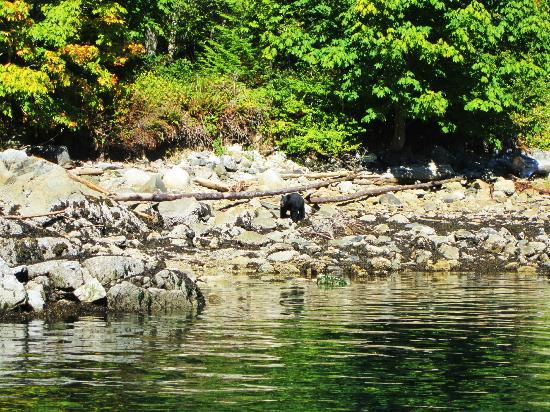 Campbell River Whale Watching and Adventure Tours: Black Bear