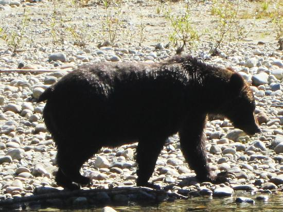 Campbell River Whale Watching and Adventure Tours: Bute Inlet, Orford River - Grizzly Bear Viewing