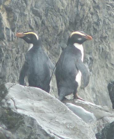 Lake Moeraki, New Zealand: Tawaki: Fiordland Crested Penguins