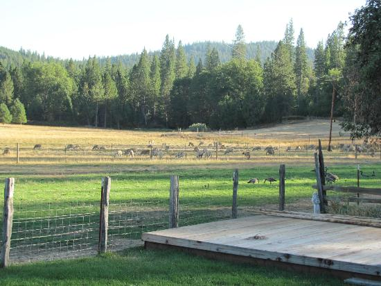 Big Creek Meadow Ranch: Pasture with sheep