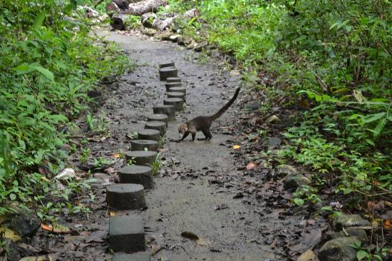 Cabo Blanco Absolute Natural Reserve: coati