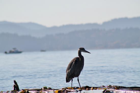 Kelp Reef Adventures: Great Blue Heron snatching some crabs from the kelp bed.