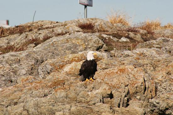 Kelp Reef Adventures: Bald eagle