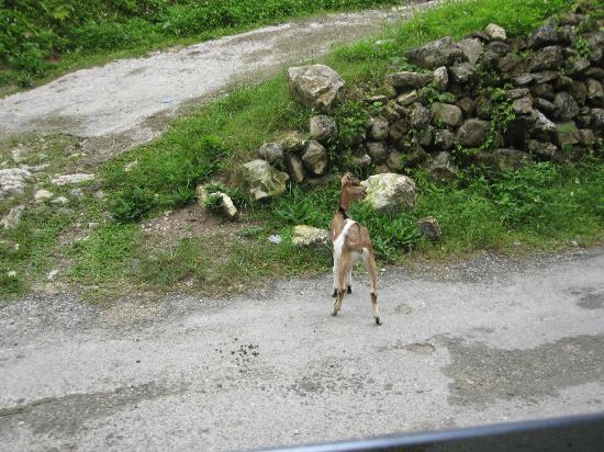 Real Tours Jamaica - Day Tours: Baby goat