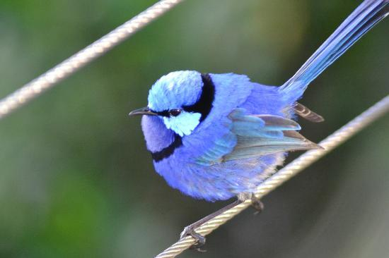 Waterfall Cottages: A Blue Wren, elusive little buggers to photograph!