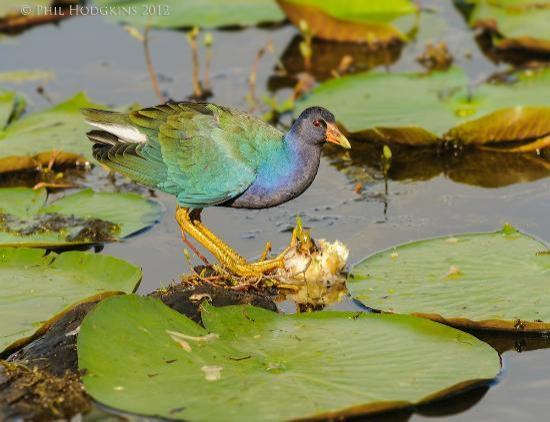 Savannah National Wildlife Refuge: Purple Gallinule