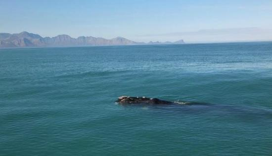 ‪‪Simon's Town‬, جنوب أفريقيا: Southern Right Whale in False Bay