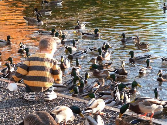 Webster Pond: child feeding the ducks
