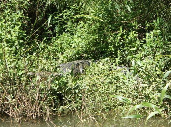‪‪Belize Jungle Dome‬: Crocodile on the River