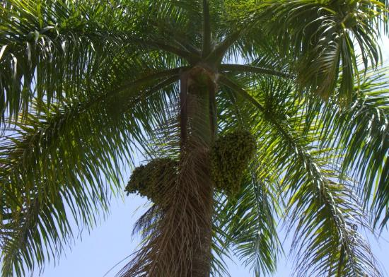 Jardin Botanico: Another palm tree with fruit