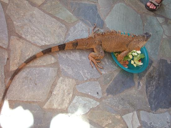 Aquaworld Aquarium & Reptile Rescue Centre: Green Iguana