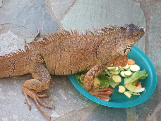 Aquaworld Aquarium & Reptile Rescue Centre: One of the Green Iguana