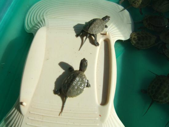 Aquaworld Aquarium & Reptile Rescue Centre: Baby Terrapins