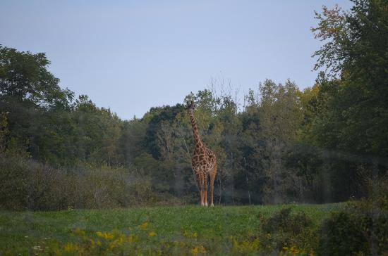 The Wilds: Curiousity of the Giraffe...coming to the fence!