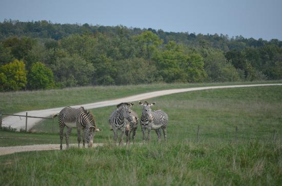 The Wilds: Shy Zebras coming out to say Hi!