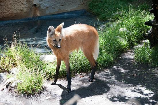 Maned Wolf, Los Angeles Zoo, Los Angeles, California, 2012 - Picture ...