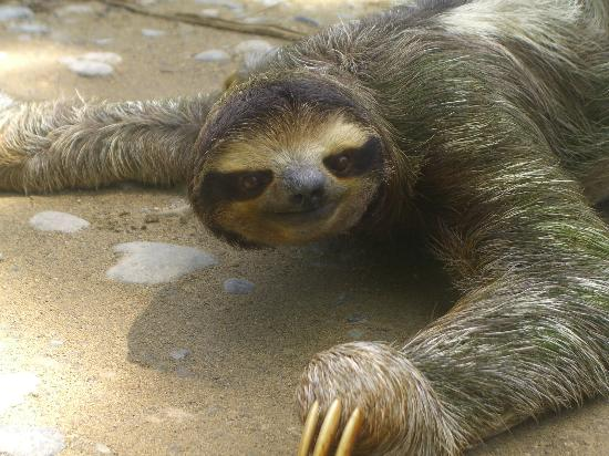 Physis Caribbean Bed & Breakfast: Three toed sloth crossing the road