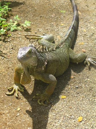 Physis Caribbean Bed & Breakfast: Iguana at Jaguar Rescue Center