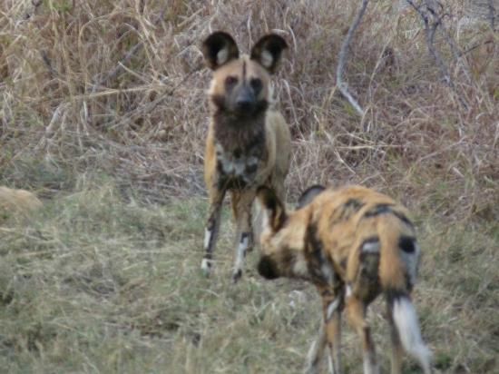 Wilderness Safaris Vumbura Plains Camp : Wild dogs