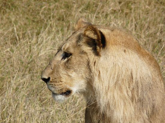 Wilderness Safaris Vumbura Plains Camp: Lion