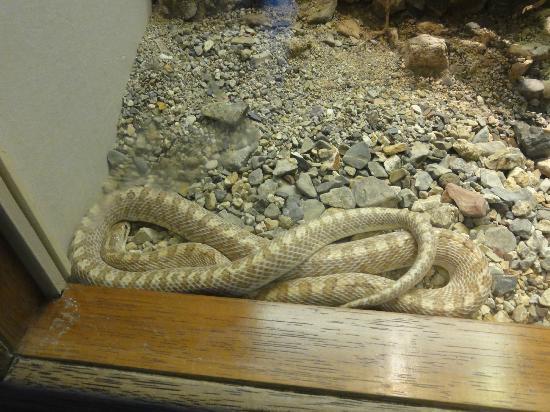 Arizona-Sonora-öken-museet: snake display