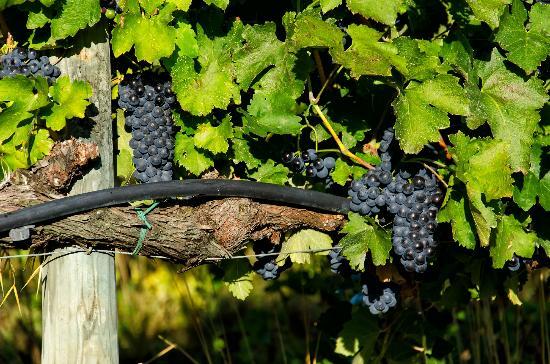 Castel Monastero: Harvest Time