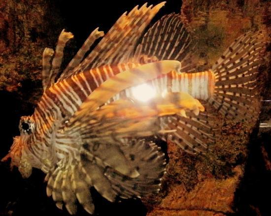 Virginia Aquarium Marine Science Center Lion Fish