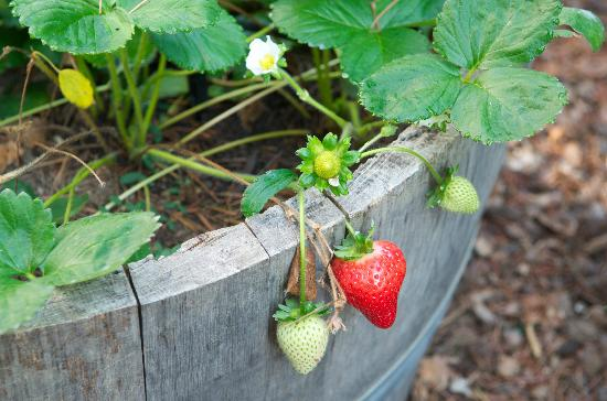 Candlelight Inn Napa Valley : Fresh Strawberries from the yard...