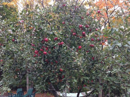 Abalonia Inn: Apple tree outside of our room