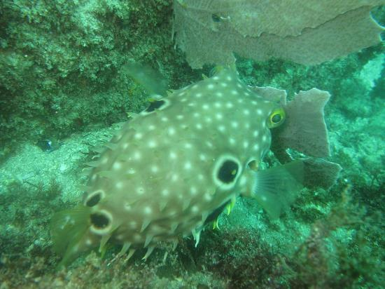 Over Sea Dive Center: Puffer fish