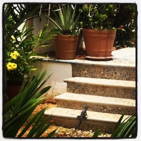 Villa Lili:                   Iguana @ the Casa