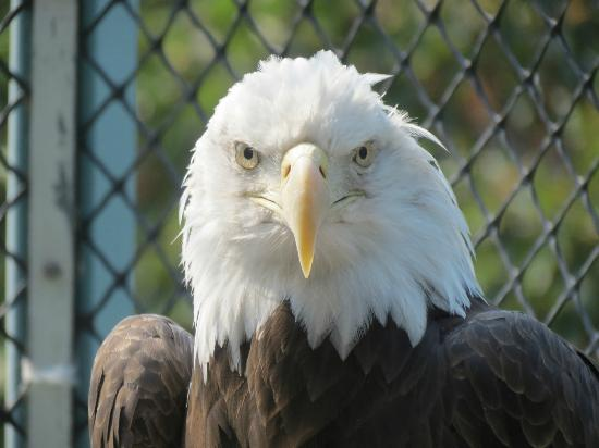 The Raptor Center: Bald Eagle.