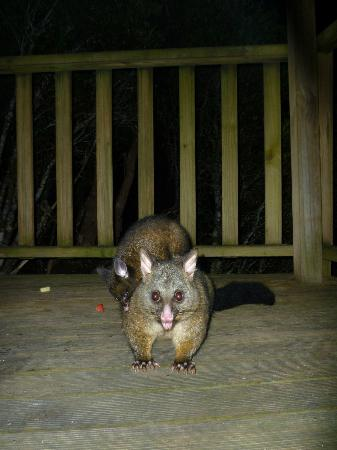 Cradle Mountain Wilderness Village: our nightly visitor and baby