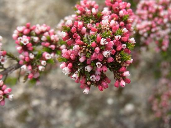 Mt. Pilot National Park : Native shrub living in harsh conditions