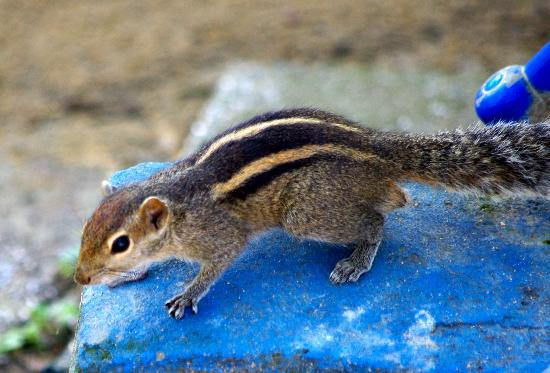 Royal Palms Beach Hotel: chipmunk