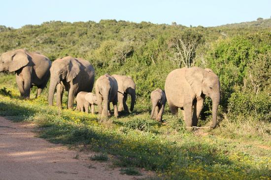 Magnolia Guesthouse : Kudde olifanten in Addo