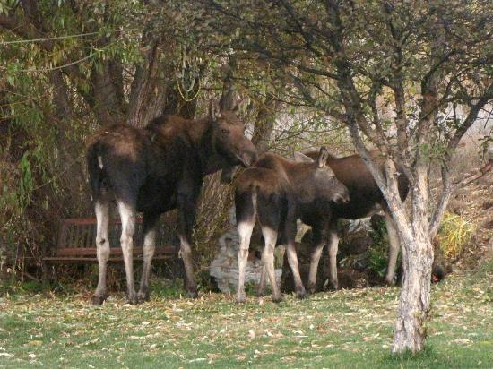 Teton View Bed & Breakfast: Backyard Visitors